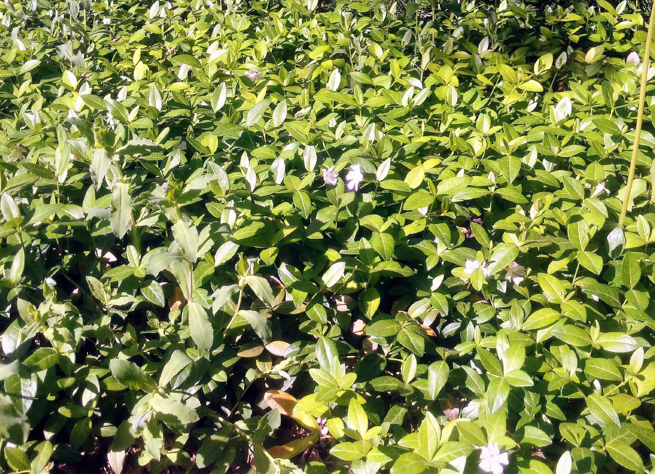 groundcover periwinkle